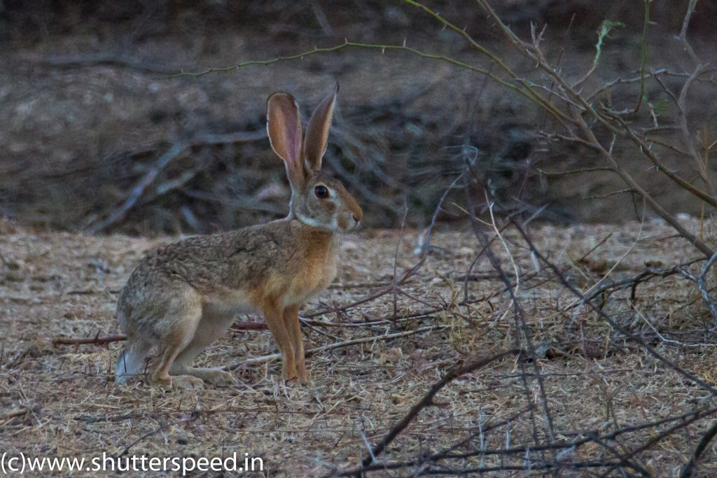 Indian Hare of Bera